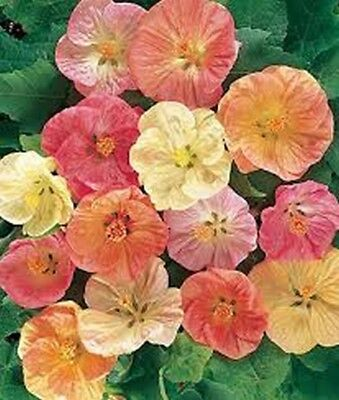 Abutilon-Flowering Maple- Bellvue Mix- 50 Seeds- BOGO 50% off SALE