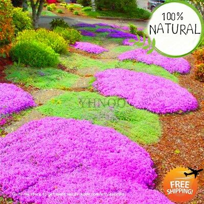 Lowest 100 Creeping Seeds Plants Thyme Bonsai Flower Flores Rock Cress Ground