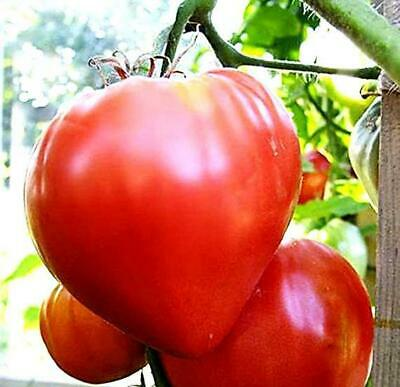 25 Oxheart Pink Tomato Seeds