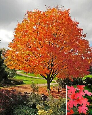 Acer saccharum (Sugar Maple / Rock Maple) - Select Quantity - 10 to 1,000 seeds