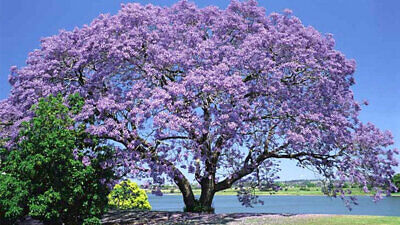 Paulownia fortunei (Fortune's Empress Tree) Select Quantity - 50 to 50,000 seeds