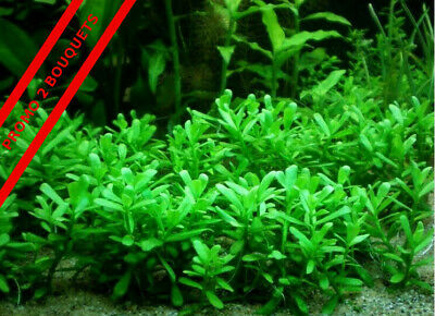 Lot de 2 bouquets bacopa Plante aquarium renvoi gratuit !!!