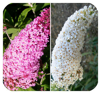Buddleia Pink and White Butterfly Bush Shrub Large Plug Plants x 2