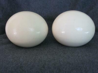 Ostrich egg shell for crafts or decoration from domestic birds