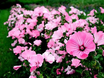 ROSE MALLOW  MIX - 150 SEEDS - Lavatera Trimestris  - FLOWER  ANNUAL