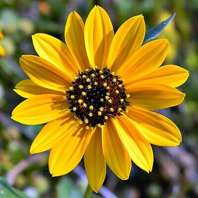 Beach Sunflower   Helianthus debilis   10 Seeds   (Free Shipping)