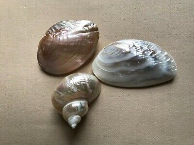 Pearlized Shells