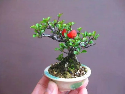 Chaenomeles japonica (Japanese Quince) 5 Fresh seeds - Great as a bonsai - Tiny!