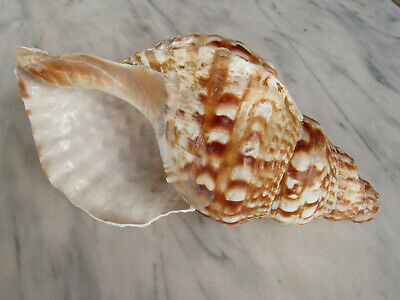 Conque musicale 460 g - trompe en coquillage - musical conch shell trump