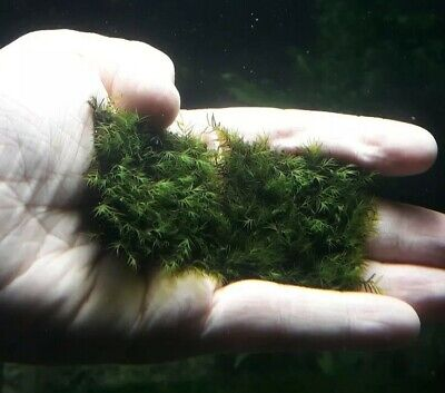 4x4cm Fissidens Fontanus Phoenix Moss SS Mesh UK grown (Shrimp Safe)