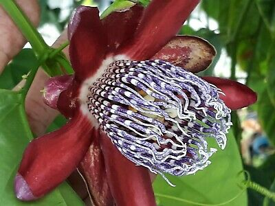 Passiflora decaisneana ( Passifloraceae - horticultural hybrid ) bouture d'1 an