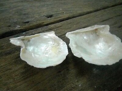 Ancient Old Rare 2 Small Natural TRIDACNA GIGAS Sea Shell GIANT CLAM