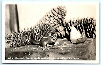 VTG RPPC Real Photo California CA Chipmunk Sequoia Kings Canyon National Park A2
