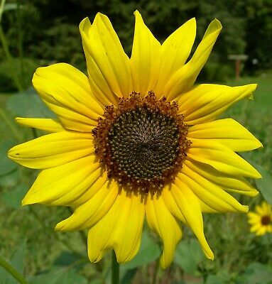 Common Sunflower   Helianthus annuus   10 Seeds   (Free Shipping)