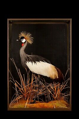 TAXIDERMY CROWNED CRANE BY ROWLAND WARD antique stuffed bird elegant interior