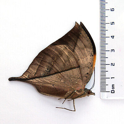 COLLECTION unmounted butterfly nymphalidae kallima inachus CHINA #YUN8