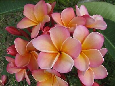 """VERY RARE! J.L. HAWAIIAN CORAL ROOTED Seedling PLUMERIA PLANT - 17"""" - 1 TIP"""