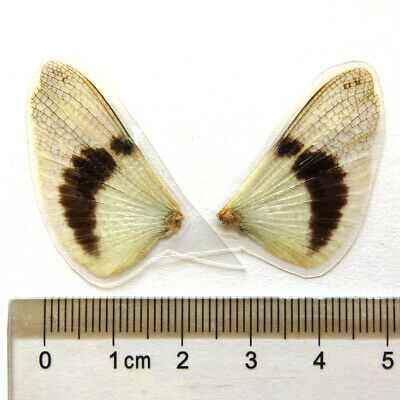 COATED REAL BUTTERFLY wings ooak pixie fairy MLP doll  #A66
