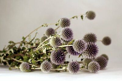 ONE STEM  Natural Green Preserved Dried Echinops Decorated Floral Great Gift!