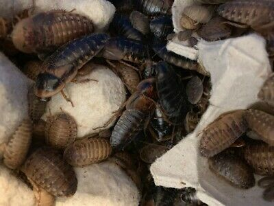 DUBIA ROACHES - Live Feeders - 100 Mixed or Starter Breeding Colony or Combo