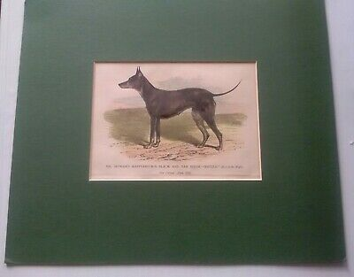 "1901 MR Howard Mapplebeck's Black and Tan  Dog  ""Nettle"" sketch print"
