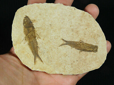 TWO! Small 50 Million Year Old Restored Knightia Fish Fossils! Wyoming 125gr e