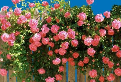 Fire Red Climbing Rose~ 20 Seeds ~ Rare ~ Free Shipping ~ USA Seller!