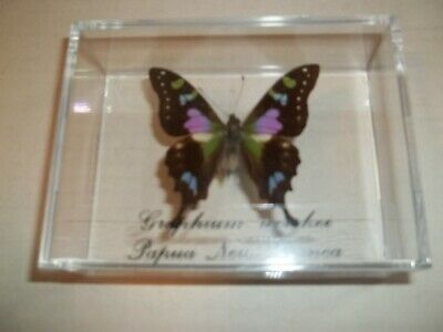 1 Real Purple Butterfly Graphium Weiskei From Papau, New Guinea. Mounted In Case