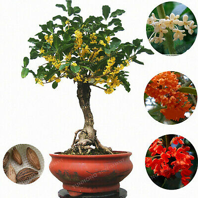 Osmanthus Fragrans Bonsai Seeds Plants Sweet Olive Tree Cultivated Potted 20pcs