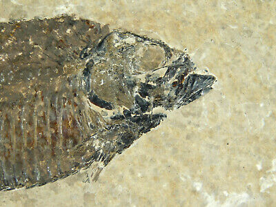 A 50 Million Year Old Knightia Alta Fish Fossil From Wyoming! 808gr e