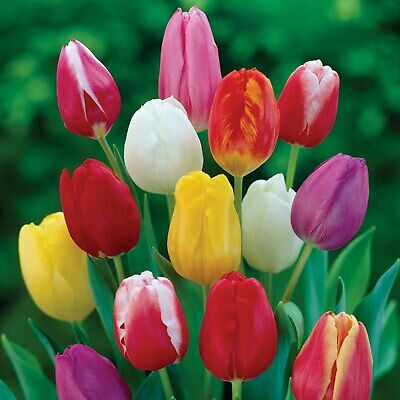Cottage Tulip mix x 50 tulips mixed Spring flowering Bulbs Flowering Guarantee