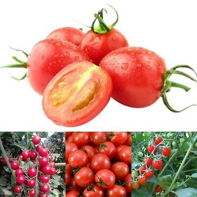 Sweet Million F1 Vegetable Tomato Cherry-150 Certified Seeds J6K3