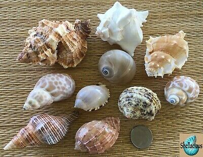 10 Medium To Medium Large Sea Shells - For Hermit Crab, Craft Or Collection