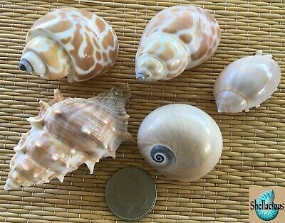 5 Medium Sea Shells - Craft Or Hermit Crab Shells