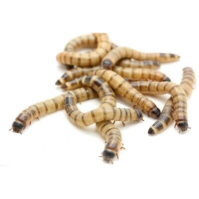 100 Large Superworms, Free Shipping and Bait Cup and LIVE ARRIVAL GUARANTEE