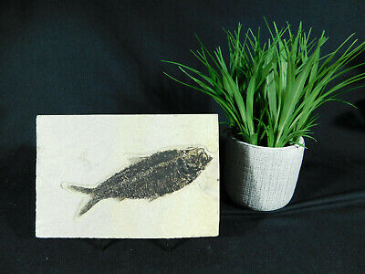 A Very Well Preserved 50 Million Year Old Fossil Fish Fossil Wyoming! 569gr  e