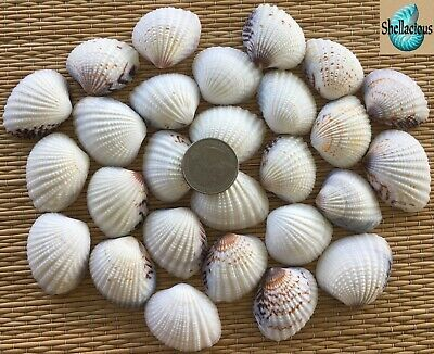 "25 MEDIUM SEMI-WHITE CLAM SEA SHELLS - 1-1/4"" to 1-1/2"" WIDE - CRAFTING"