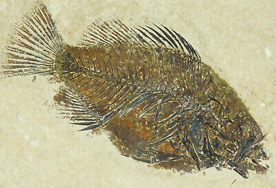 A Perfect! 100% NATURAL 50 Million Year Old Priscacara Fish Fossil Wy 2655gr e