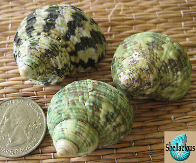 3 GREEN SMALL TO MEDIUM TURBO SEA SHELLS - Hermit Crabs, Craft or Collection
