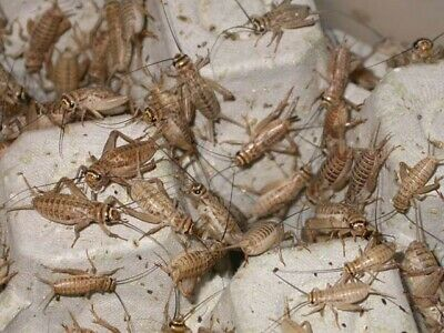 Live Crickets - Acheta Domestica - Brown-All Sizes