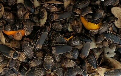 Live Dubia cockroaches (Blaptica dubia), Argentine Roach Adults Nymphs Colony