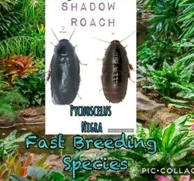 ☆50 CT SHADOW ROACH☆Feeder☆Starter Colony☆COCKROACH☆Vivarium☆CUC☆Reptile☆Insect☆
