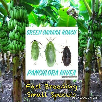 50 CT☆GREEN BANANA ROACH☆Feeder☆PANCHLORA NIVEA☆Starter Colony☆Cockroach☆Cricket