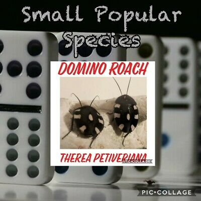 ☆25 CT SMALL NYMPHS☆DOMINO COCKROACH☆ROACH☆Feeder☆Starter Colony☆Insect☆Vivarium