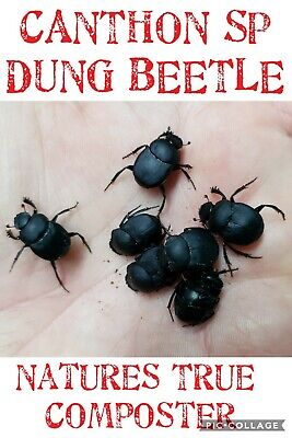 ☆Adult Pair☆CANTHON SP DUNG BEETLE☆Vivarium☆Insect☆Bug☆Feeder☆Science☆Entomology