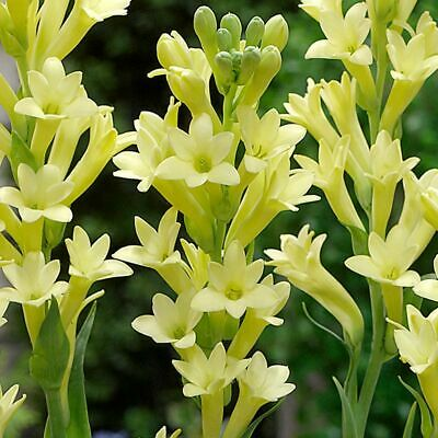1 x Polianthes tuberosa 'Yellow Baby' (Bulb to Plant Yourself) Free UK Postage