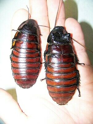 2 Large Pairs ,Giant Madagascar Hissing Cockroaches,dubia roach alturnative