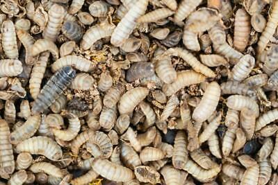 Black Soldier Fly Larva 250+ ct. Mixed sizes (Reptile Food)