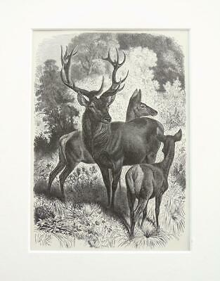 Red Deer Stag - Antique Victorian B/W Print, Wood Engraving, Mounted