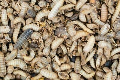 Black Soldier Fly Larva 500+ ct. Mixed sizes (Live Reptile Food)
